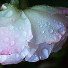 Raindrops On White & Pink Rose.  by Eve Parry