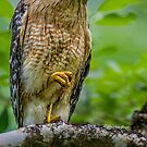 Red Shouldered Hawk  by Daniel  Parent