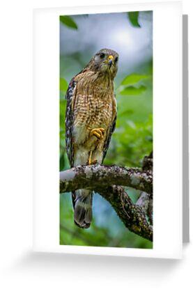Red Shouldered Hawk  by Daniel  Parent