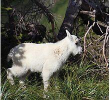 Mountain goat baby Photographic Print