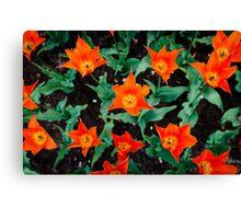 Orange Stars @ Keukenhof Canvas Print
