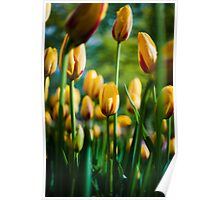 Yellow / Red Tulips @ Keukenhof Poster
