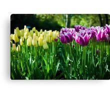 Purple and White Tulips @ Keukenhof Canvas Print