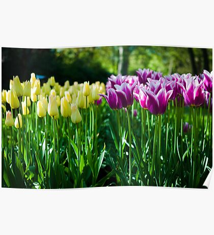Purple and White Tulips @ Keukenhof Poster