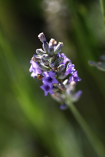 Smell the Lavender by Joy Watson