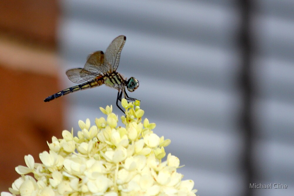 Dragonfly 3 by Michael Cline