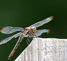 Dragonfly 4 by Michael Cline