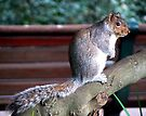 Cape Town Squirrel by Graeme  Hyde