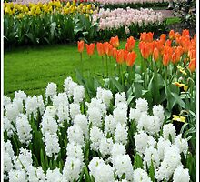 Dreamy White Hyacinths and Orange Tulips - Keukenhof Gardens by kathrynsgallery