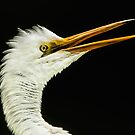 Energized Great White Egret by Joe Jennelle