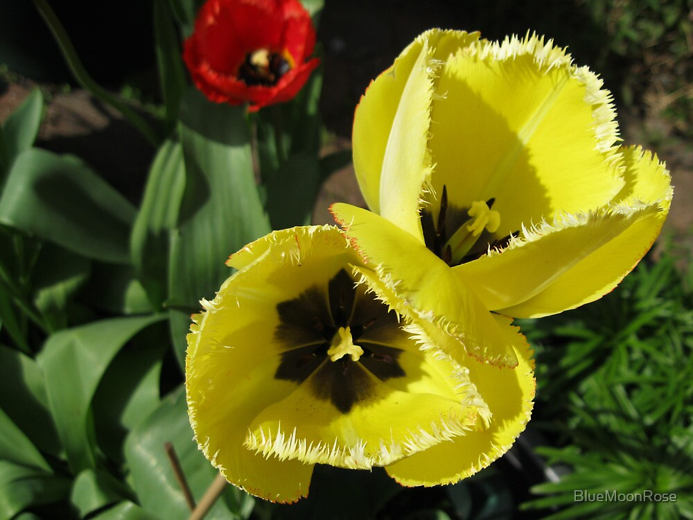 Yellow and Red Frilled Tulips by BlueMoonRose