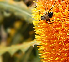 Noshing on a Golden Banksia by Sandra Chung