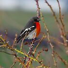 Scarlet Robin on a bramble by Traffordphotos