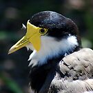 Masked Lapwing by Eve Parry