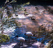 Duck Pond #3 by ronsphotos