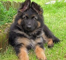 German Shepherd Puppy by JUDI2008