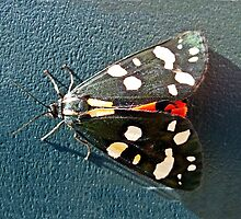 Scarlet Tiger Moth by trish725