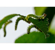 Garden Caterpillars Photographic Print