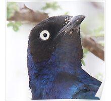 Superb Starling Close-up Poster