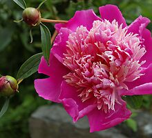 pink peony and 2 buds by dedmanshootn
