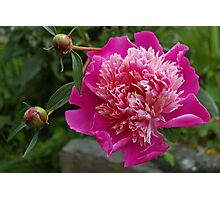 pink peony and 2 buds Photographic Print