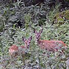 Roe Deer Fawns - Dora's Field, Rydal, Lake District by Chris Monks