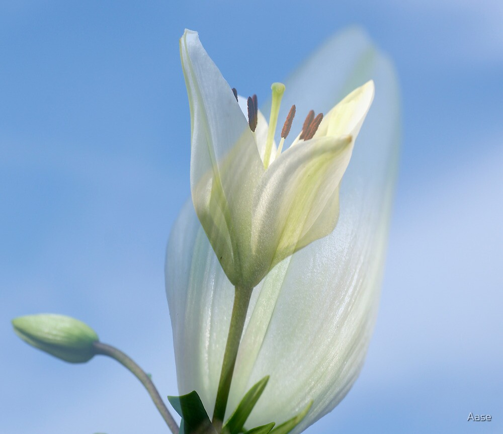 Lily by Aase