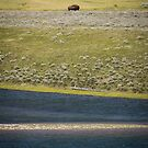 Distant Bison, Yellowstone National Park by Philip Kearney