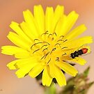 Red Fly Bee on a Dandelion Flower by TheBluePlanet