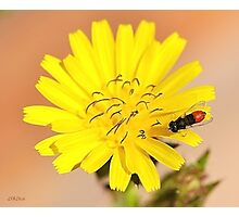 Red Fly Bee on a Dandelion Flower Photographic Print