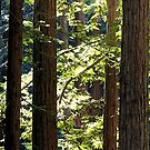 Redwoods in the Sun by Ellen Cotton