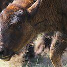 Little big buff by Debbie Roelle