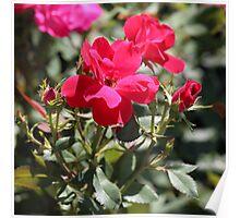 Ohio Roses Poster