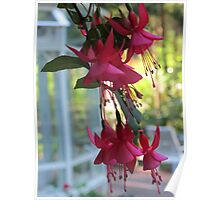 """June Bride"" Fuchsias Poster"
