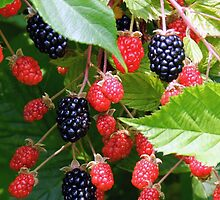 Blackberry Patch by Sharon Woerner