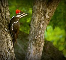 Pileated Woodpecker by Jeff Weymier