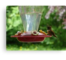 Mr Hummingbird stops by for a drink Canvas Print
