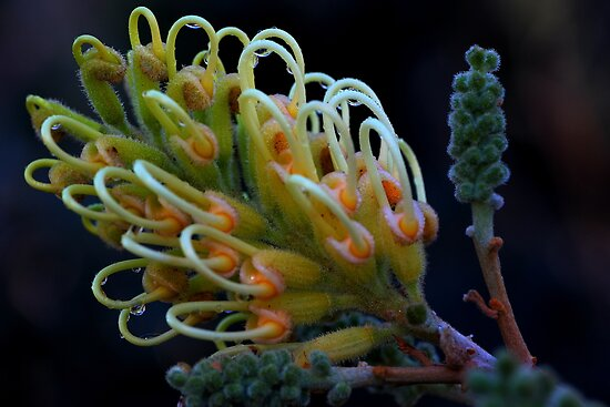 Grevillea banksii by andrachne