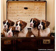 Boxer Puppies Photographic Print