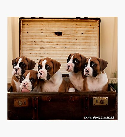 Boxer Puppies Photographic Print