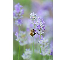 Lavender Collection Photographic Print