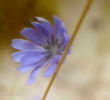 Cichorium Intybus - Common Chicory   Center Moriches, New York by © Sophie W. Smith