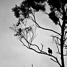 Wedge Tailed Eagle by Ben Rae