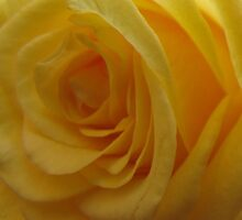 Yellow Rose Quatre by tobeandtohave