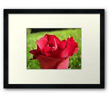 Red Rose Une Framed Print