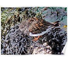 Turnstone Bird Poster