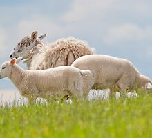 Cheviot Sheep & Lambs by M.S. Photography & Art