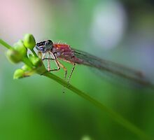 Blue-tailed Damselfly by Jo Nijenhuis