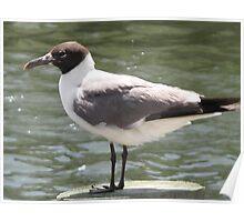 Florida Seagull Poster