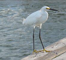 White egret by JessieT